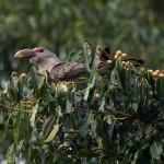 channel billed cuckoo1 24 12 12 - Copy (2)